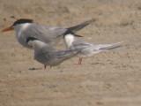 Roseate Tern profile