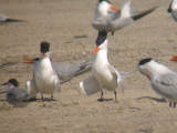 Royal & Common Terns