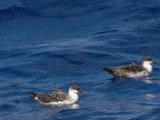 Greater Shearwaters