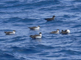 Greater Shearwaters & Sooty Shearwater