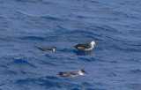 Manx & Greater Shearwaters