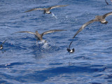 Greater Shearwaters & Wilson's Storm-Petrels