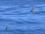 Long-tailed Jaeger & Wilson's Storm-Petrel