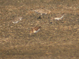 Baird's & Least Sandpipers