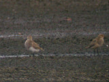 Pectoral Sandpipers (atypical)