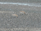 Baird's & Pectoral Sandpipers