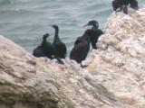 Brandt's & Pelagic Cormorants