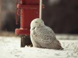 SnowyOwl0667b.jpg