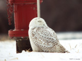 SnowyOwl0703b.jpg