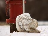 SnowyOwl0706b.jpg
