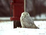 SnowyOwl0738b.jpg