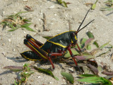 Crickets, Grasshoppers, and Katydids