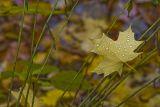 Raindrops on a Maple Leaf.jpg