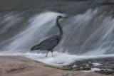 Blurry Heron *.jpg