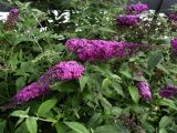 Buddleia davidii 'Raspberry Wine'