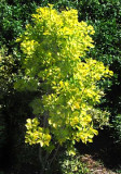 Cotinus coggyria 'Golden Spirit' ™ pp#13,082