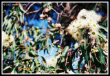 Gums in Blossom