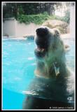 Close up to the Polar Bear