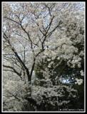 Sakura in Gunma-ken