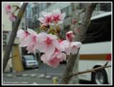 Sakura in the Back Streets of Himeji