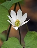 Twinleaf (Jeffersonia diphylla)