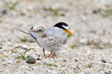 Least Terns, adult and chick