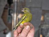 The Patch - Dr Jim Cobb ringing a 1st w Greenfinch