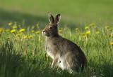 Mountain hare Lepus timidus planinski zajec-PICT0003.jpg