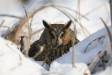 Long-eared owl Asio otus mala uharica_MG_5570.jpg
