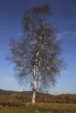 Silver birch Betula pendula navadna breza_MG_5288-1.jpg