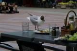 Black-headed gull Larus ridibundus reèni galeb-PICT0030-1.jpg