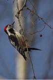 Middle spotted woodpecker Dendrocopus medius srednji detel_MG_8652-1.jpg