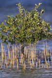 Grey mangrove  Avicennia marina mangrova_MG_4831-1.jpg