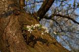 Plum tree Prunus domestica sliva_MG_9459-1.jpg