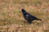 Rook Corvus frugilegus poljska vrana_MG_5259-1.jpg