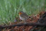 Robin Erithacus rubecula  ta¹èica_MG_9851-1.jpg