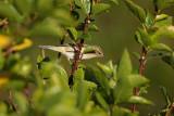 Chiffchaff Phylloscopus collybita vrbji kovaèek_MG_5101-1.jpg