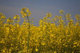 Field with Wild Turnip oljna repica_MG_2617-1.jpg