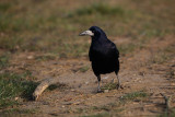 Rook Corvus frugilegus poljska vrana_MG_7611-1.jpg