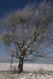 Cherry tree Prunus avium in winter divja èe¹nja_MG_5686-1.jpg