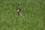 Brown hare Lepus europaeus poljski zajec_MG_2625-1.jpg