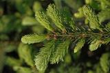 Norway spruce Picea abies smreka_MG_2965-1.jpg