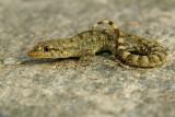 Kotschy's Gecko Mediodactylus kotschyi egejski goloprstnik-PICT0103-1.jpg