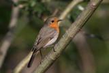 Robin Erithacus rubecula  ta¹èica_MG_3018-1.jpg
