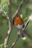 Robin Erithacus rubecula  ta¹èica_MG_3026-1.jpg