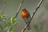 Robin Erithacus rubecula  ta¹èica_MG_3033-1.jpg
