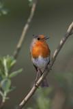Robin Erithacus rubecula  ta¹èica_MG_3038-1.jpg