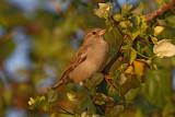 House sparrow Passer domesticus domači vrabec_MG_5112-1.jpg