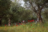 Olive trees and  poppies_MG_4178-1.jpg