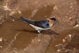 Red-rumped swallow Cecropis daurica rdeča lastovka_MG_5045-1.jpg